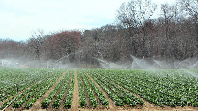 Sprays of water irrigate leafy greens overhead on a Long Island farm.