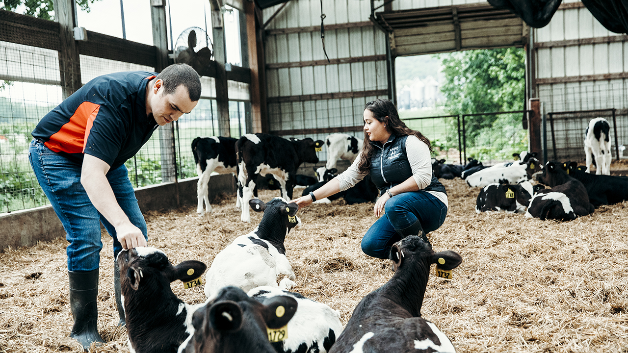 Joseph McFadden, left, inspects dairy cows at a Cornell research farm.