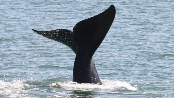 right whale fluke sticks up out of the water